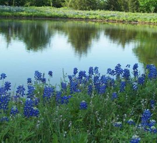 blue-bonnetts-flowers